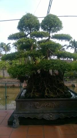 Cây song thụ 5 cây